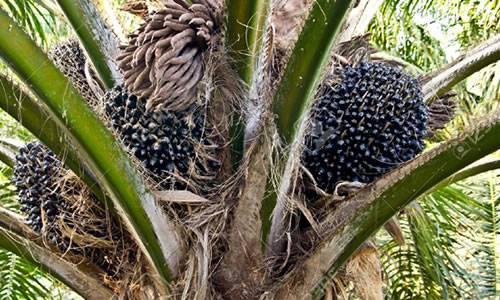 Palm Fruit image
