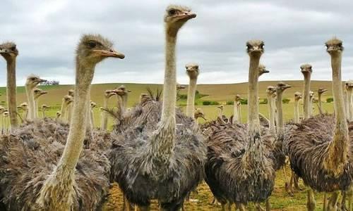 Ostrich image